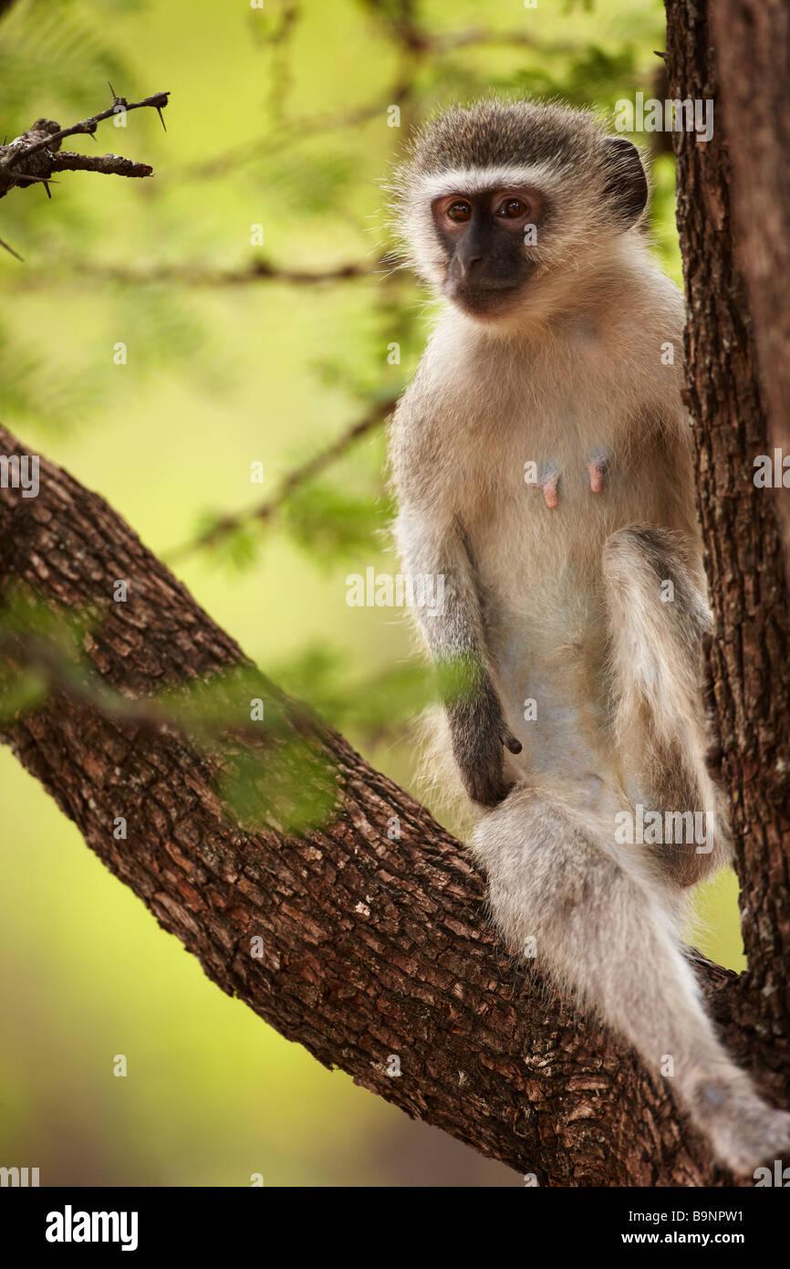 Una scimmia vervet in un albero, Kruger National Park, Sud Africa Immagini Stock