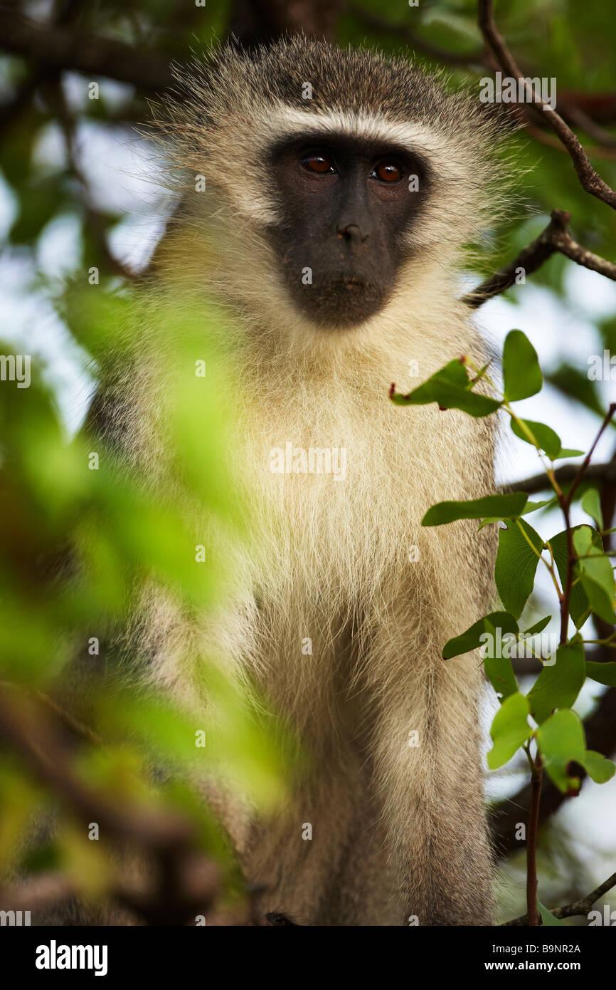 Vervet monkey nella boccola, Kruger National Park, Sud Africa Immagini Stock