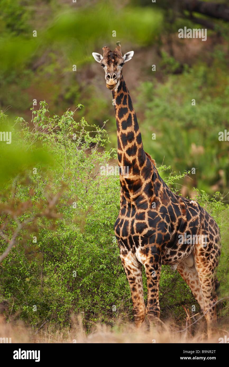 La giraffa nella boccola, Kruger National Park, Sud Africa Immagini Stock