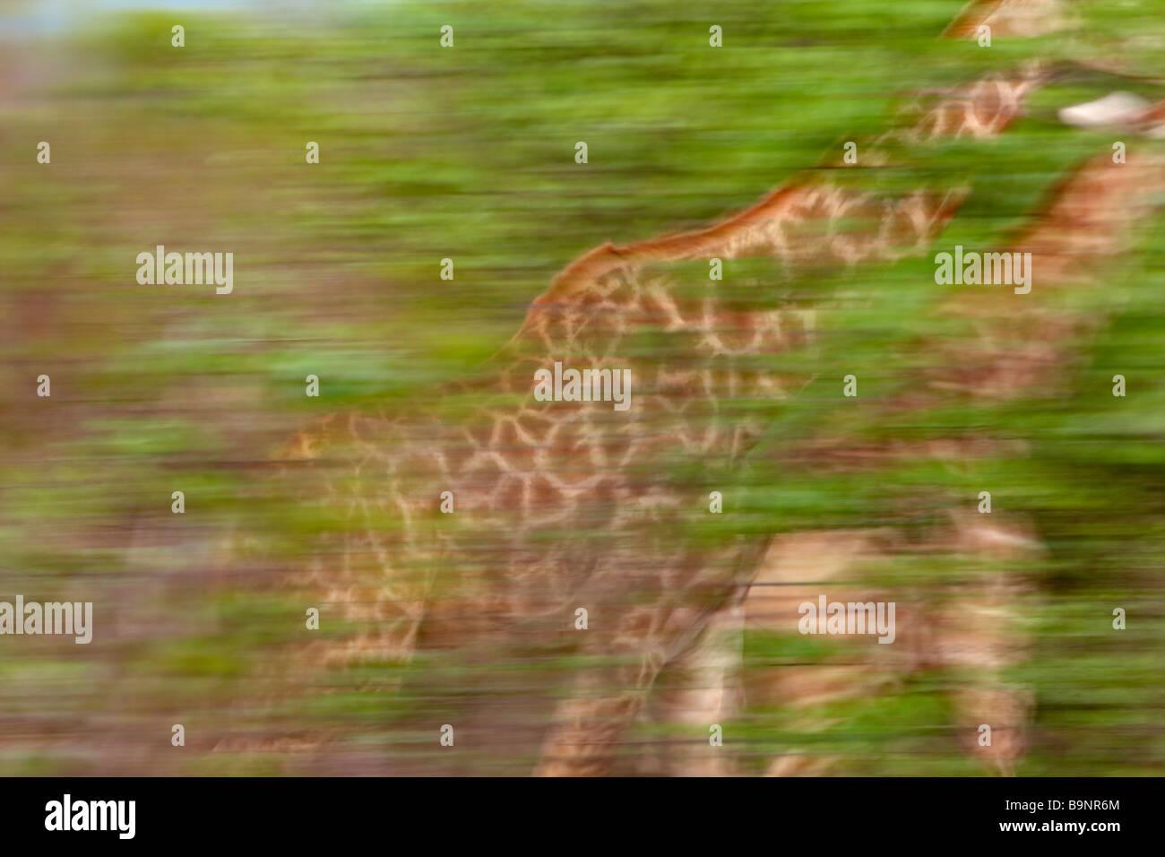 Due giraffe in movimento nella boccola, Kruger National Park, Sud Africa Immagini Stock