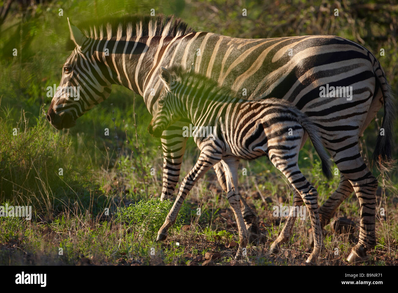 Burchells zebra con un puledro nel bush, il Parco Nazionale Kruger, Sud Africa Immagini Stock