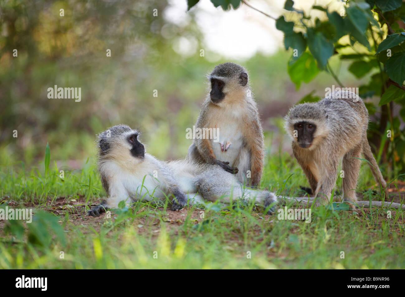 Famiglia di scimmie vervet nella boccola, Kruger National Park, Sud Africa Immagini Stock