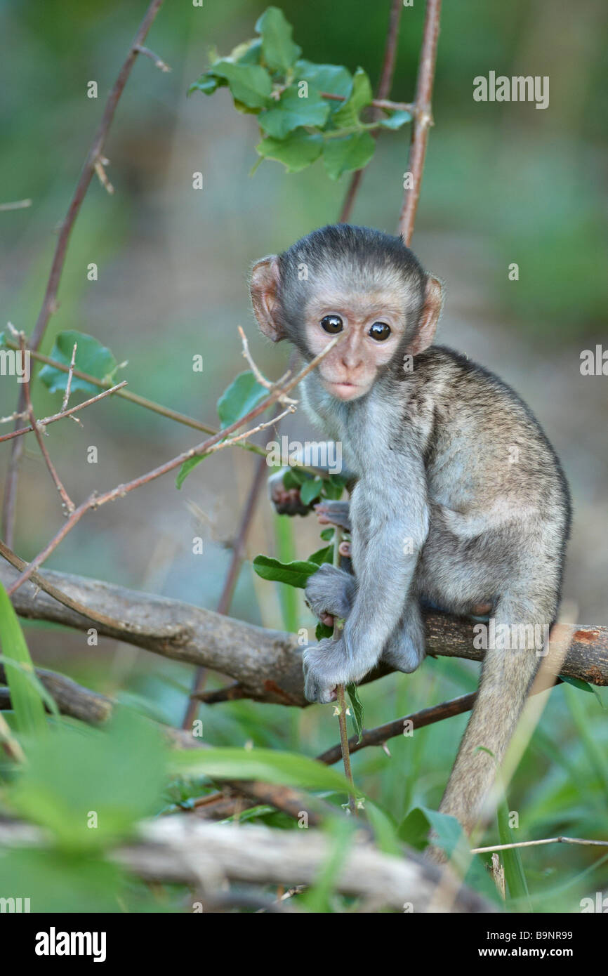 Baby vervet monkey in una boccola, il Parco Nazionale Kruger, Sud Africa Immagini Stock