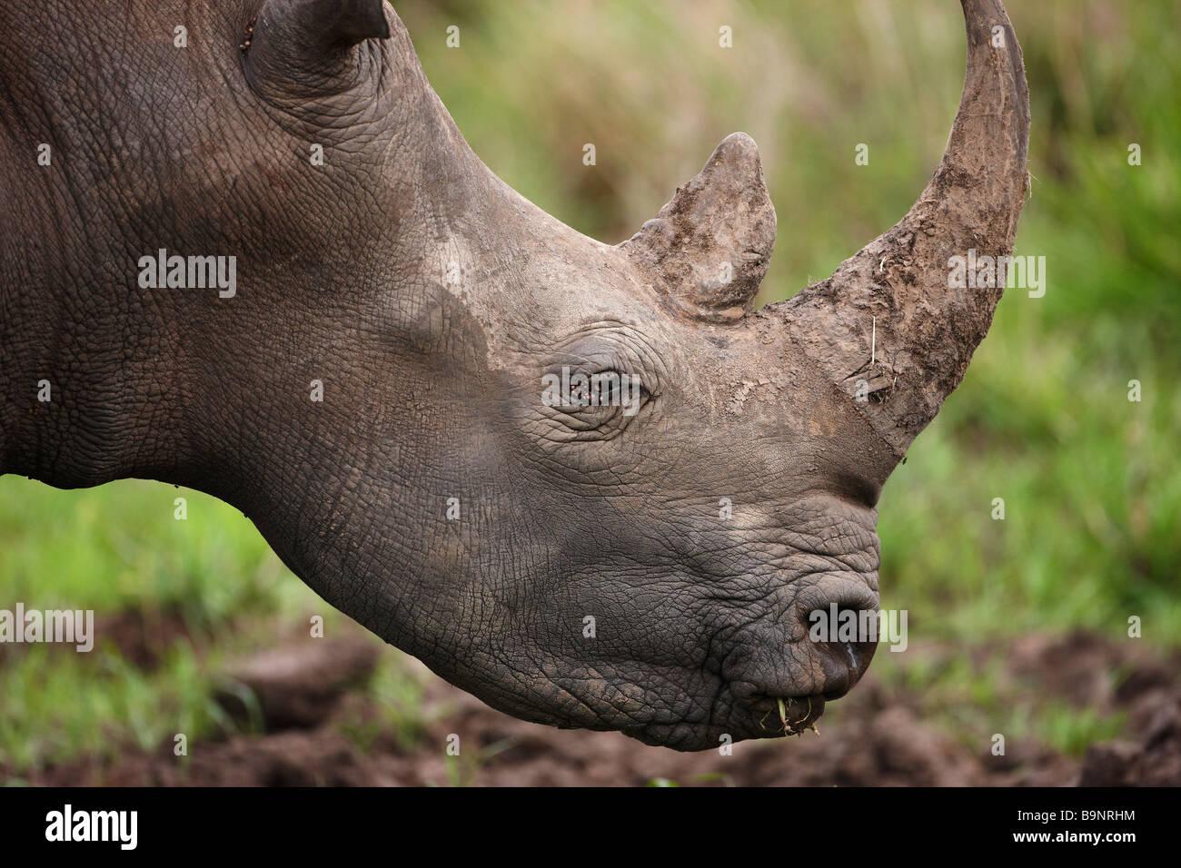 Ritratto di un rinoceronte bianco, Kruger National Park, Sud Africa Immagini Stock
