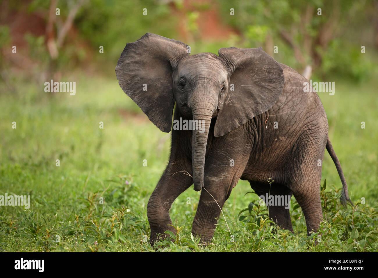 Giocoso lone baby elephant nella boccola, Kruger National Park, Sud Africa Immagini Stock