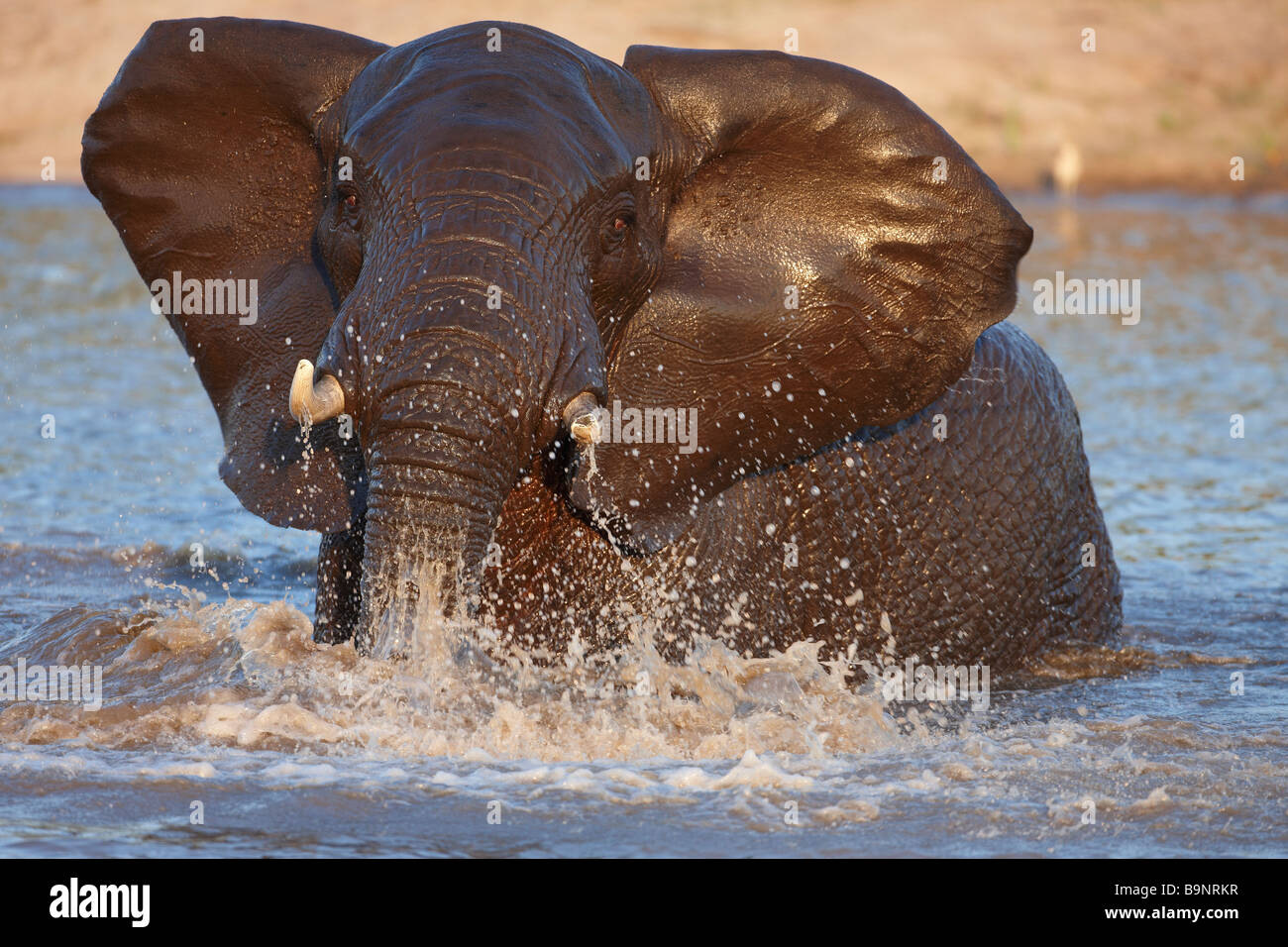 Aggressiva di elefante in un waterhole, Kruger National Park, Sud Africa Immagini Stock