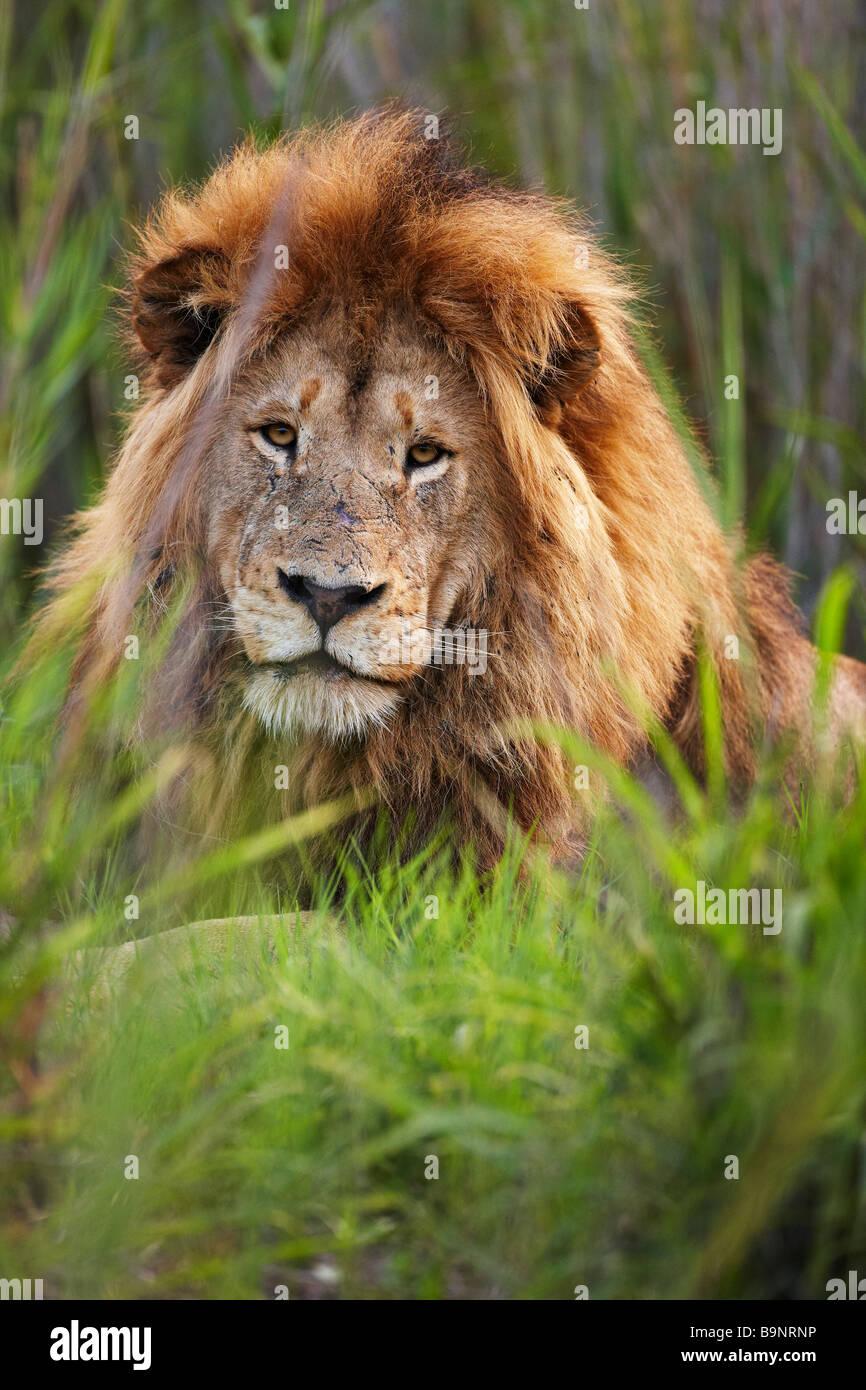 Ritratto di un maschio di leone nella boccola, Kruger National Park, Sud Africa Immagini Stock