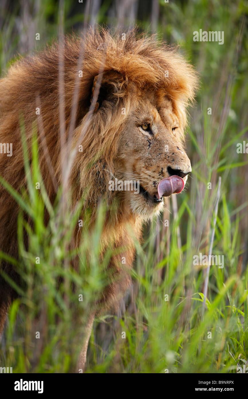 Ritratto di un maschio di leone leccare le sue labbra nella boccola, Kruger National Park, Sud Africa Immagini Stock