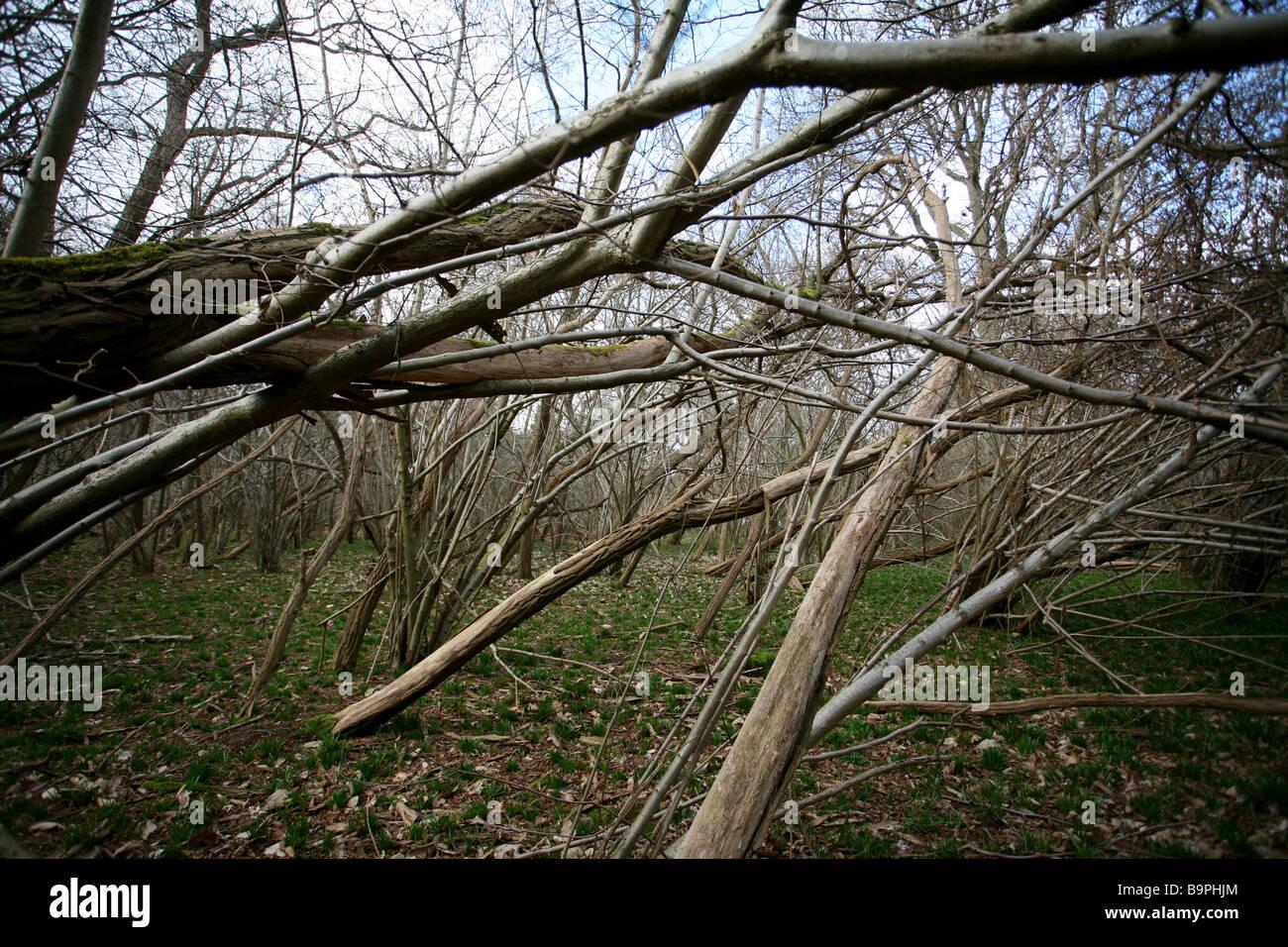 Cluster di rami di betulla e nocciolo di bosco, Surrey Immagini Stock