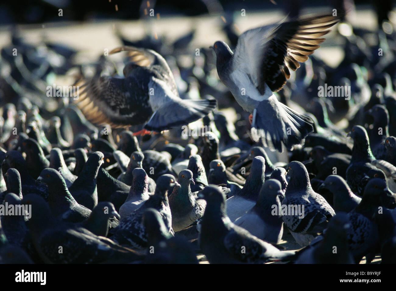 Stormo di piccioni Immagini Stock