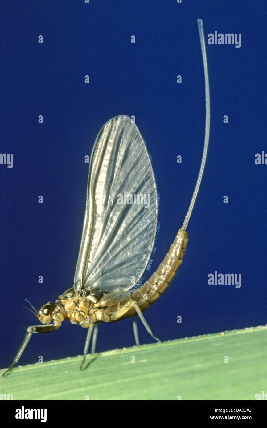Mayfly (Baetis rhodani), imago su una lama di erba Immagini Stock