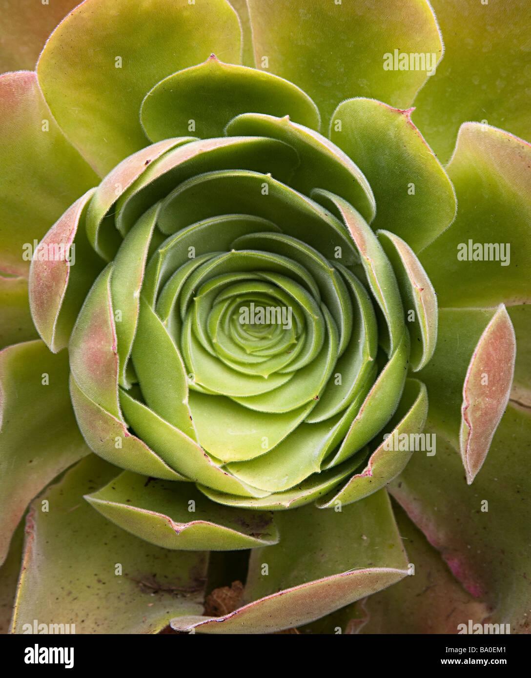 Aeonium palmense succulenta nativo di La Palma Isole Canarie Spagna Immagini Stock