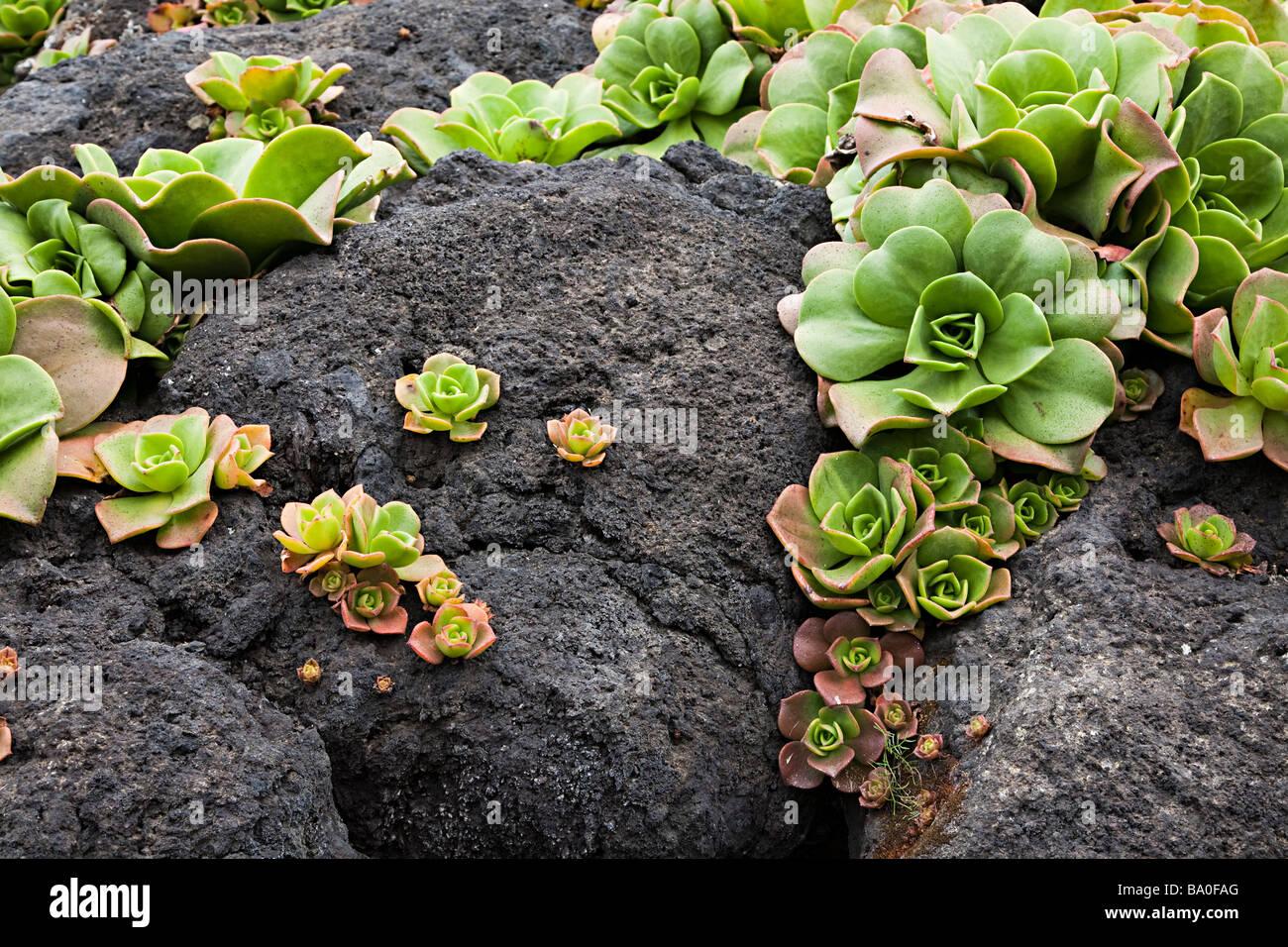 Aeonium canariense succulenta nativo di Tenerife Canarie Spagna Immagini Stock
