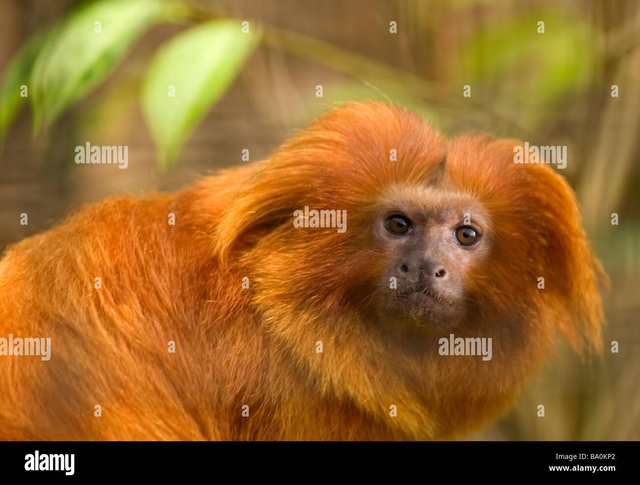 Golden Lion Tamarin Leontopithecus rosalia Immagini Stock