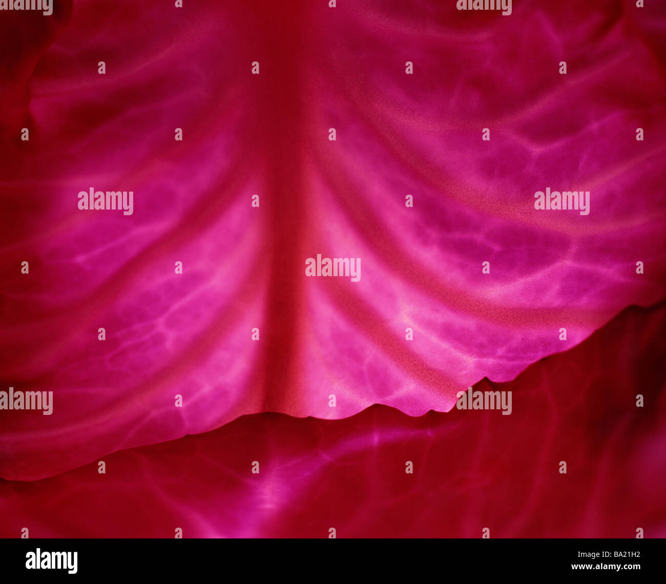 Cavolo rosso Immagini Stock
