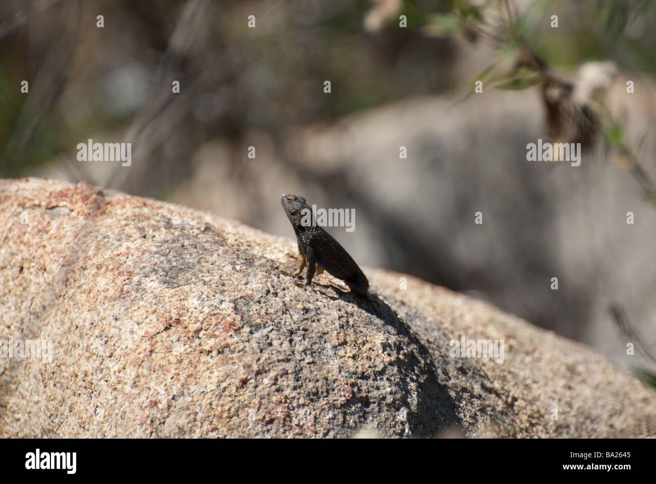 Lizard si siede al sole su una roccia Immagini Stock