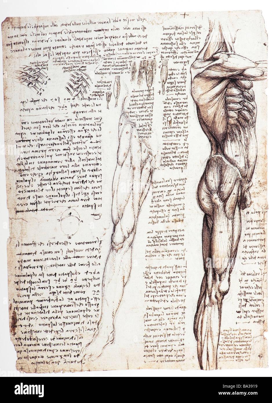 Studi di anatomia dei muscoli del tronco e la gamba di Leonardo da Vinci 1509 pen inchiostro marrone Immagini Stock