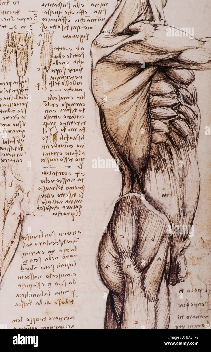 Studi di anatomia dei muscoli del tronco e la gamba di Leonardo da Vinci 1509-1510 penna e inchiostro bruno Immagini Stock