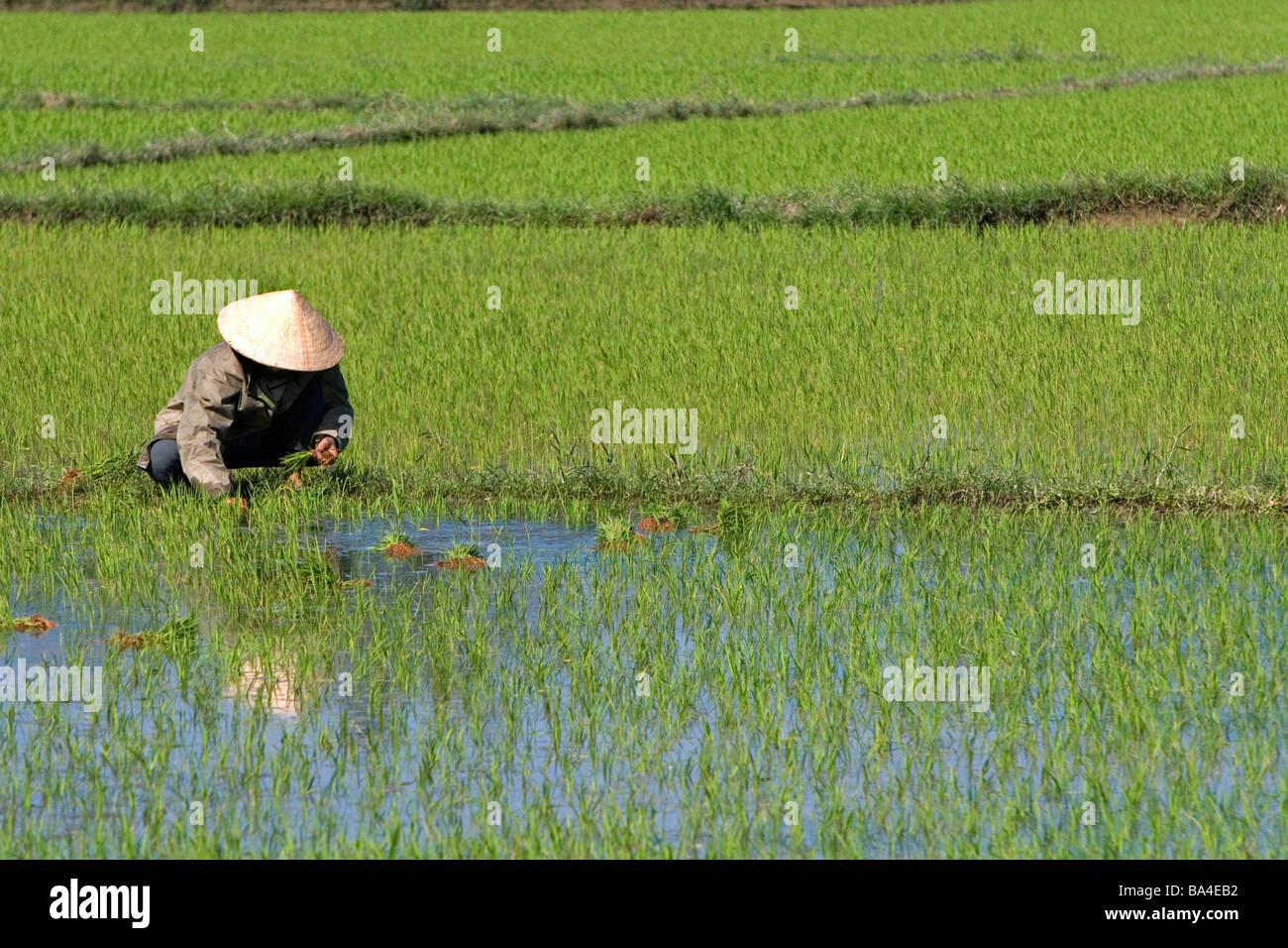 L'agricoltore vietnamita tende ad una risaia vicino a Hoi An Vietnam Immagini Stock