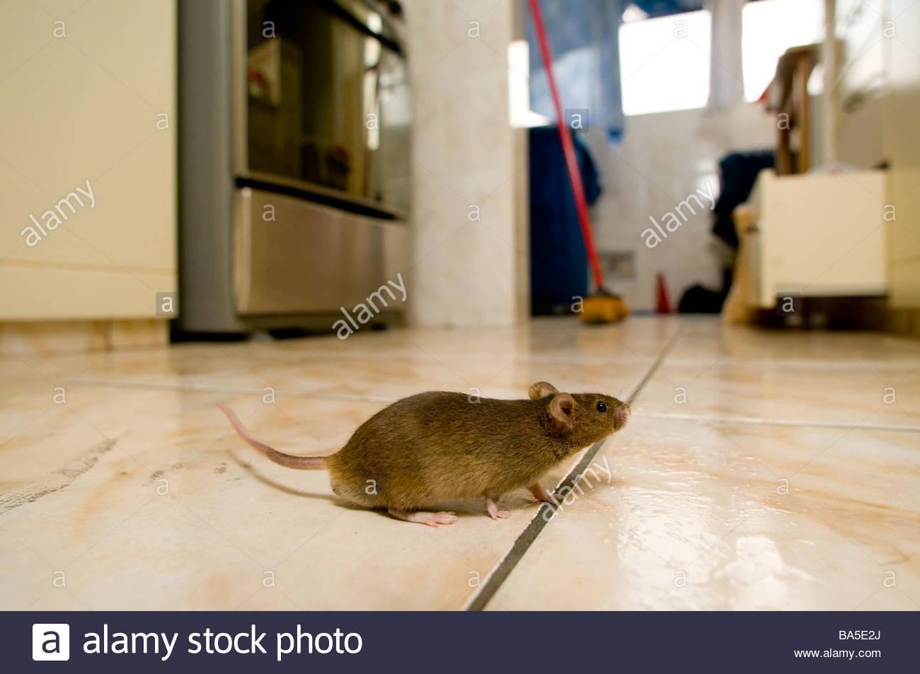 Mouse in cucina Immagini Stock