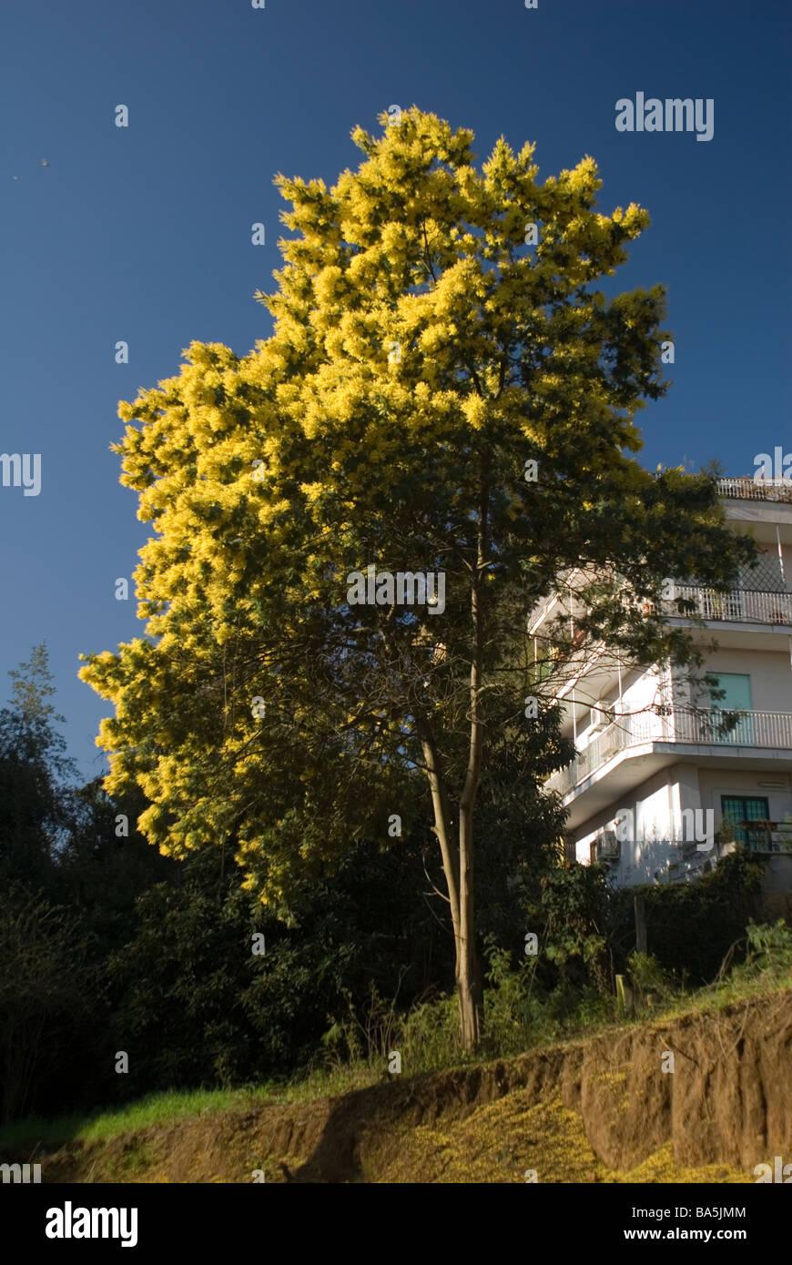Graticcio di argento, Acacia dealbata, mimosa, Fabaceae dall Australia Immagini Stock