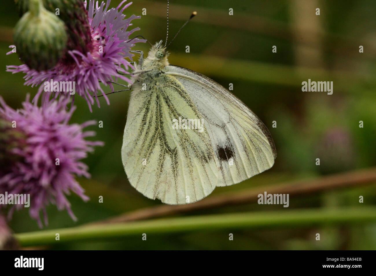 Verde bianco venato Butterfly Sarcococca napi Pieridae famiglia mostra profilo hindwing in macro shot Immagini Stock