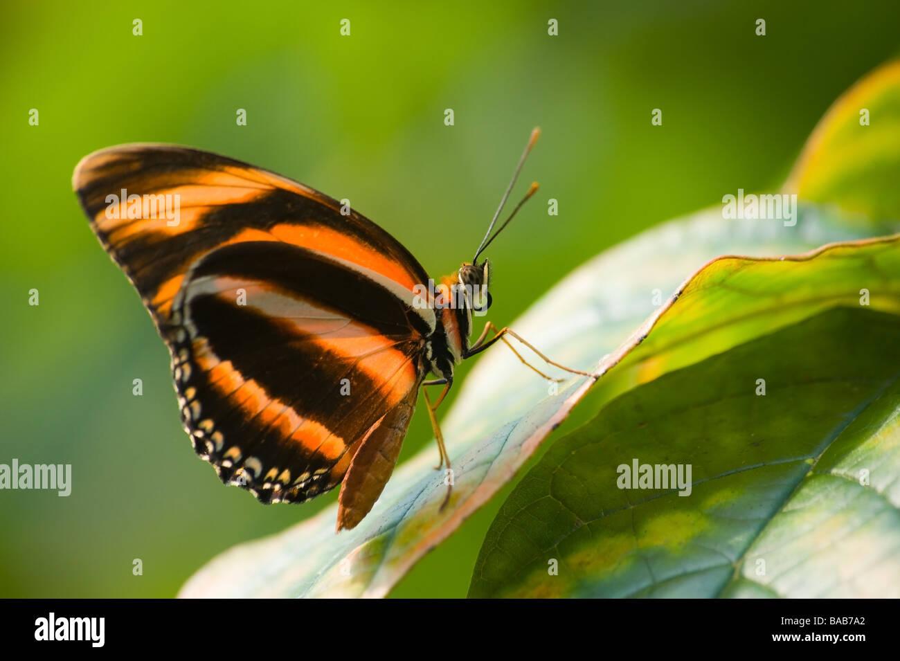 Rosso E Nero Butterfly Contro Uno Sfondo Verde Foto Immagine Stock