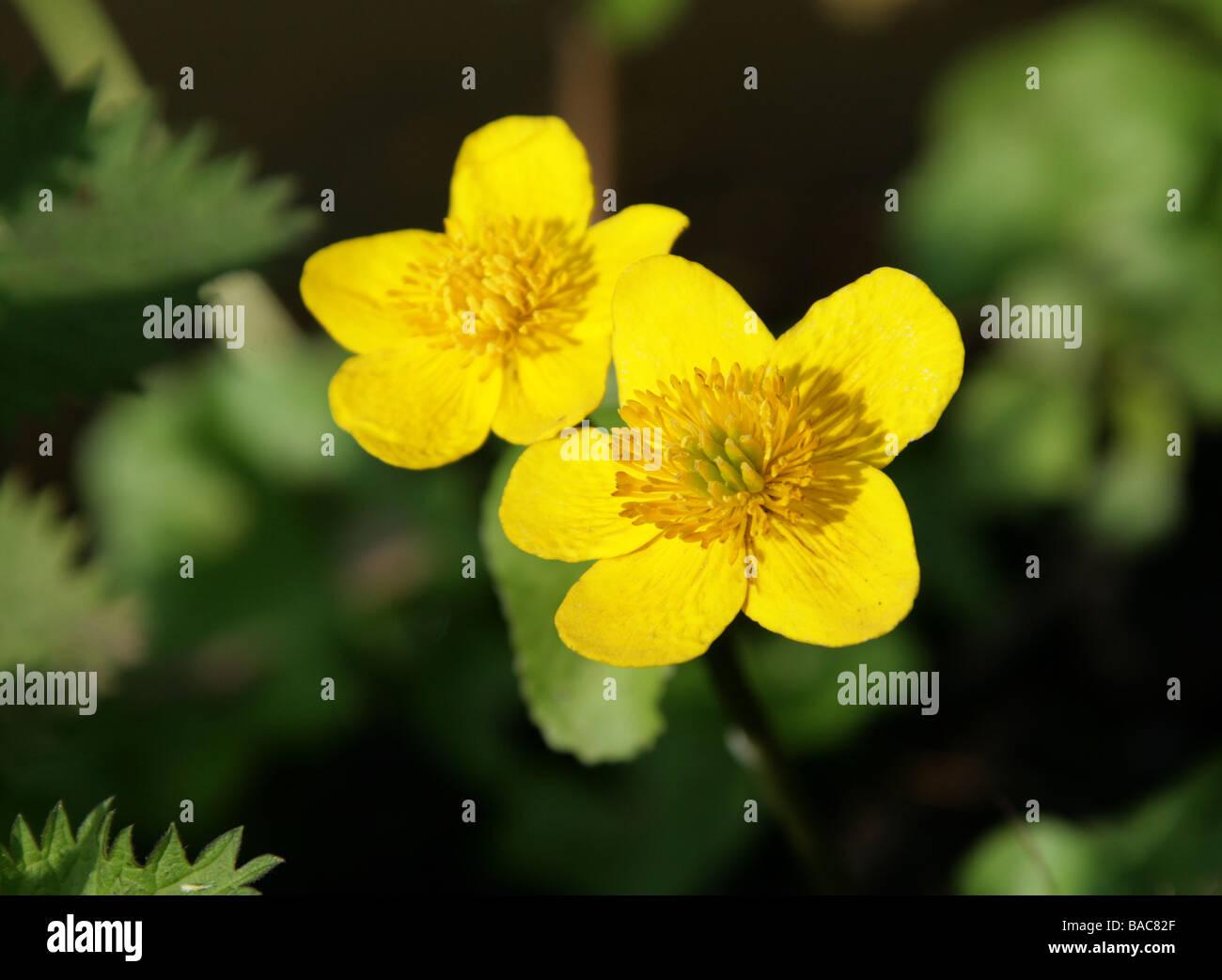 Marsh Calendula, Caltha palustris, Ranunculaceae Immagini Stock