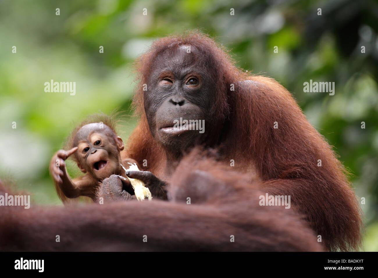 Il bambino e la madre degli oranghi Kabili Sepilok Riserva della Foresta Pluviale Sabah Borneo Immagini Stock