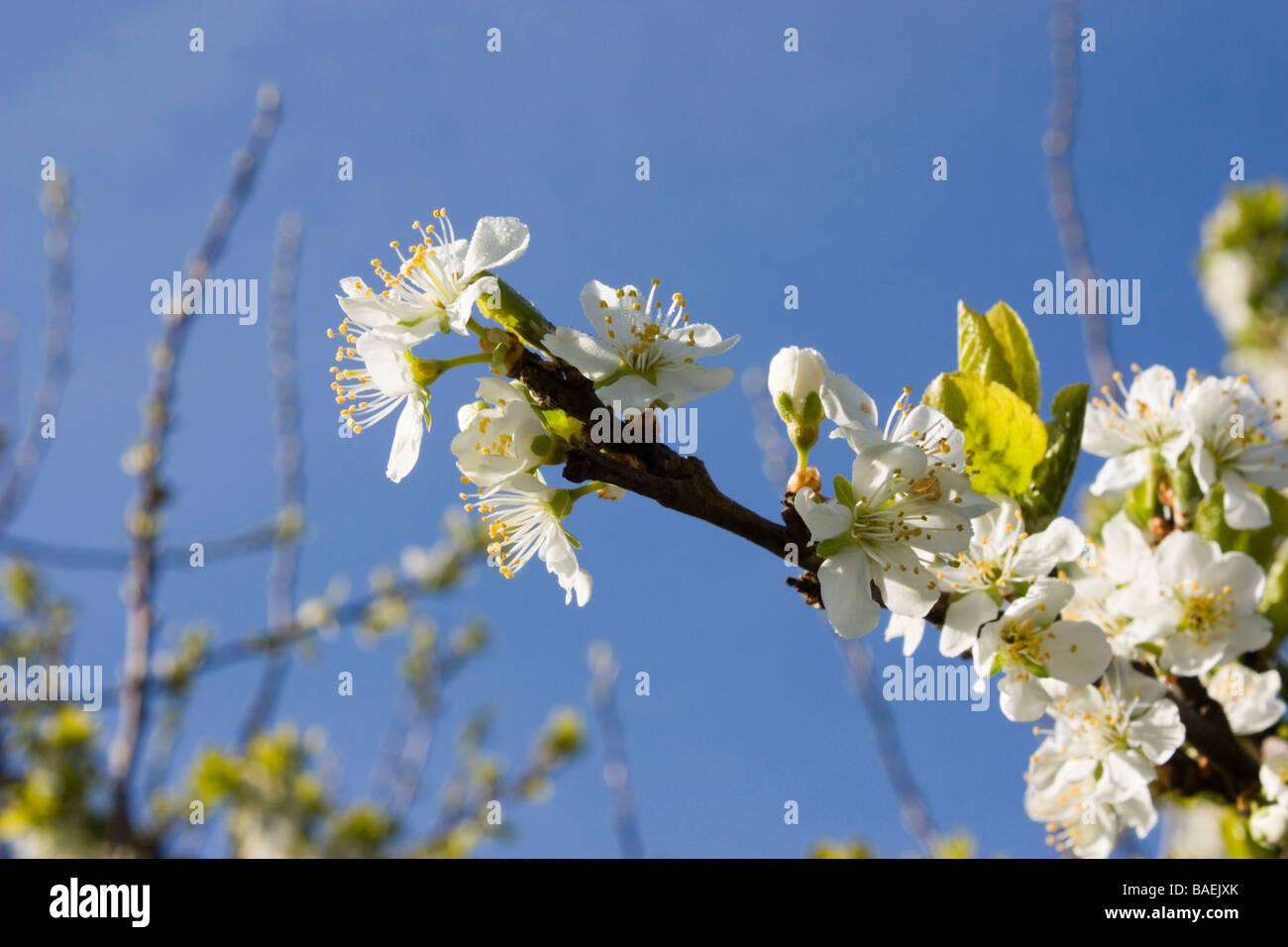 Fiore della prugna Foto Stock
