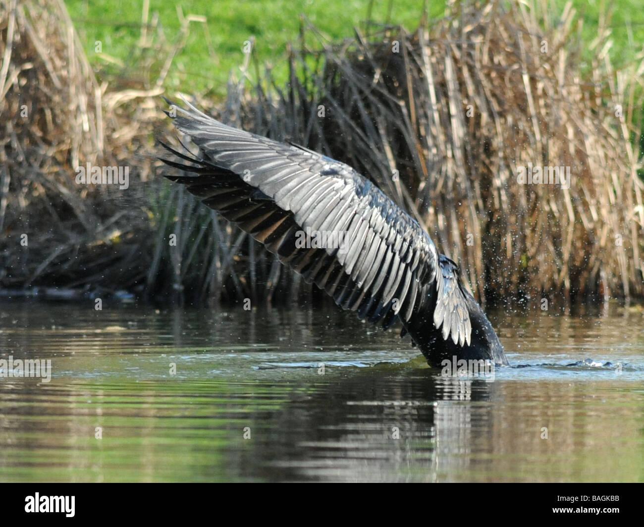 Un cormorano o shag utilizzando le sue ali per creare ombra e aiutare a vedere sotto l'acqua. Immagini Stock