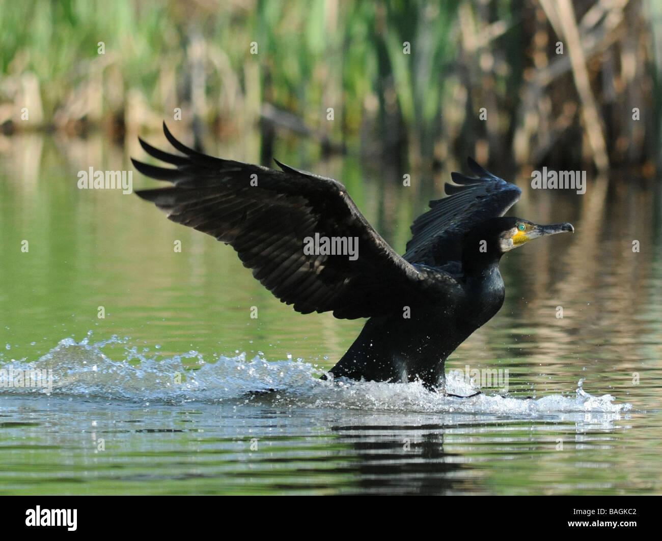 Un cormorano o shag arrivando in terra, home a roost. Immagini Stock