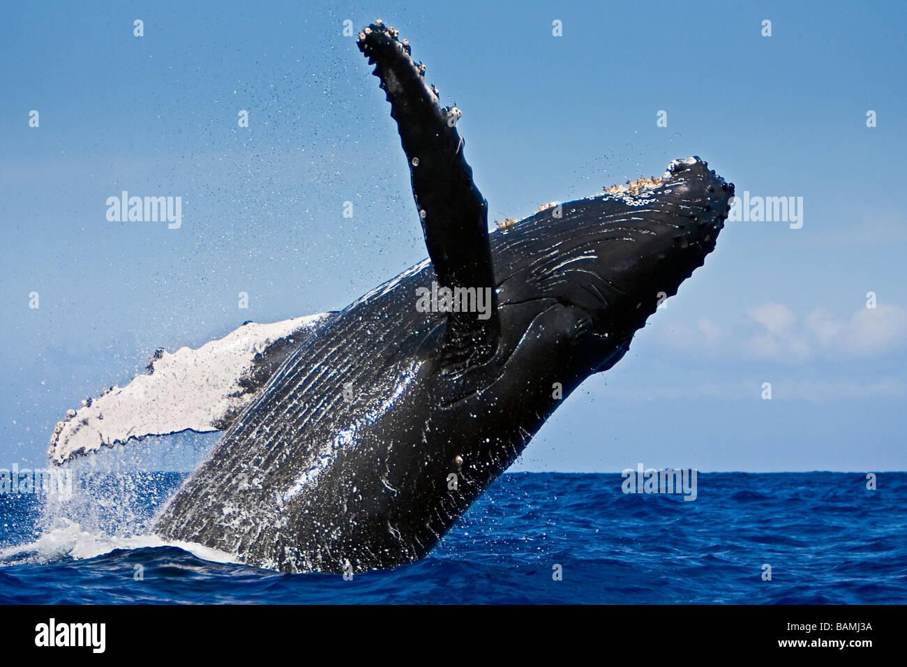 Humpback Whale, Megaptera novaeangliae Immagini Stock