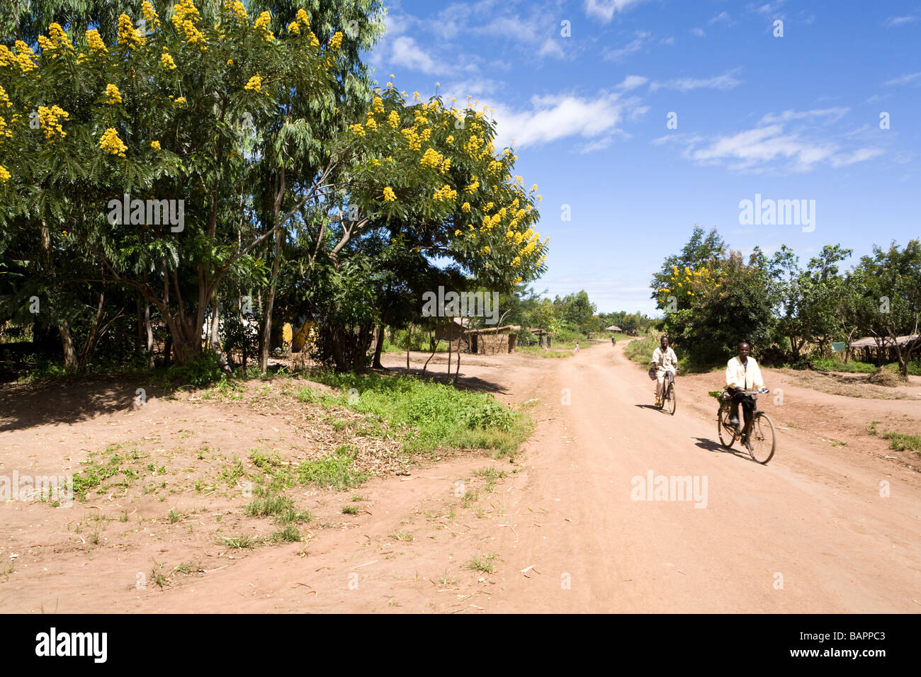 Gli alberi di acacia in fiore accanto alla pista sterrata la strada attraverso il villaggio di Nyombe, Malawi, Africa Immagini Stock