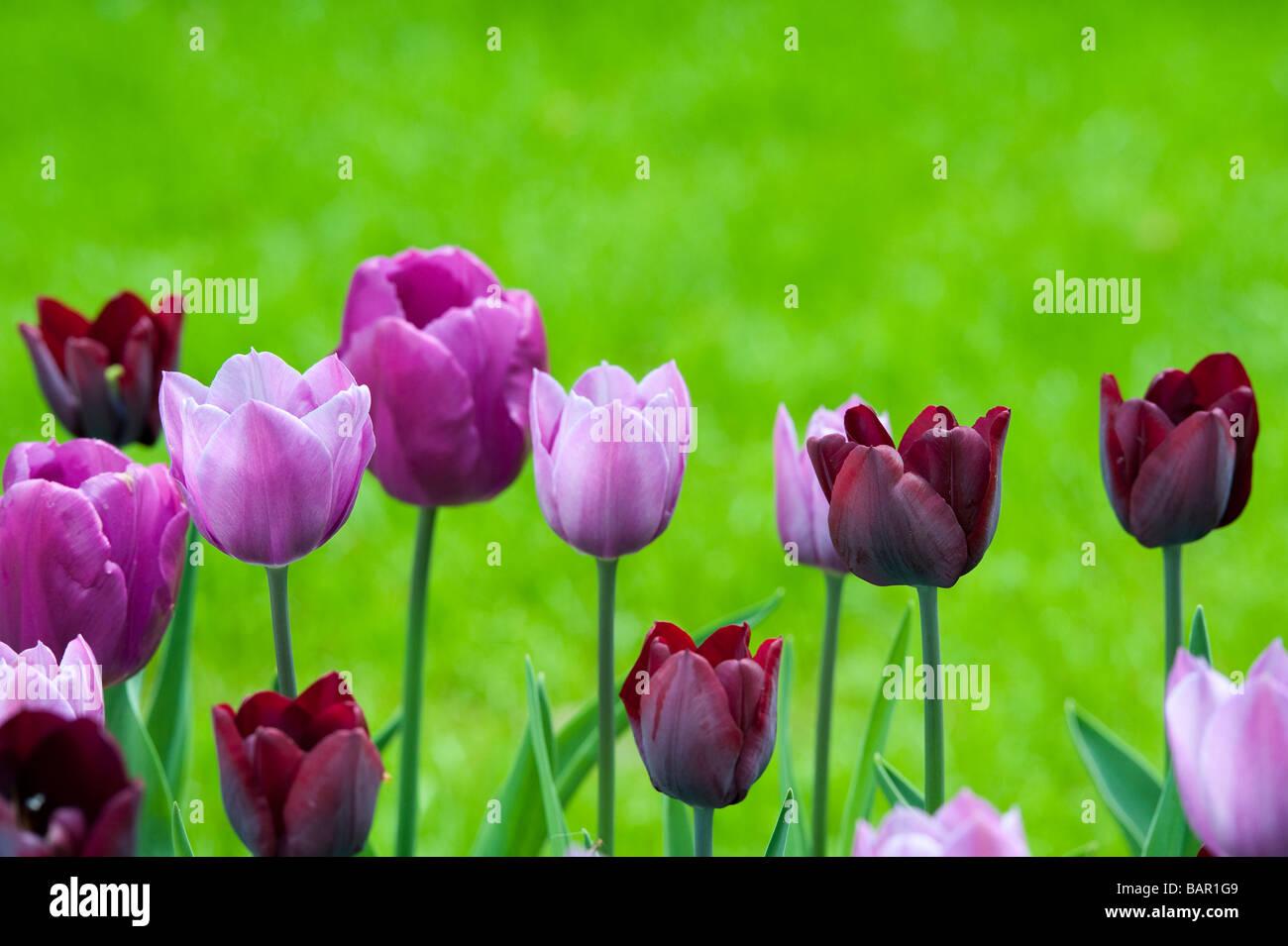 """Tulip trionfo """"ronaldo' 'viola principe' 'Violetta bellezza' unico fine fiori a giardini Immagini Stock"""