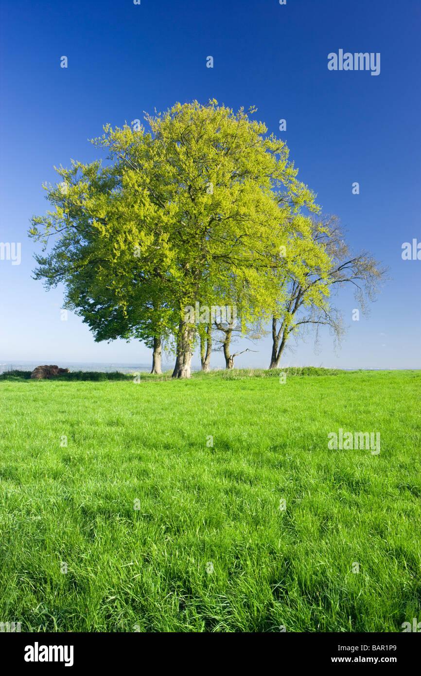 Alberi nel campo dell'erba. Surrey, Regno Unito. Immagini Stock
