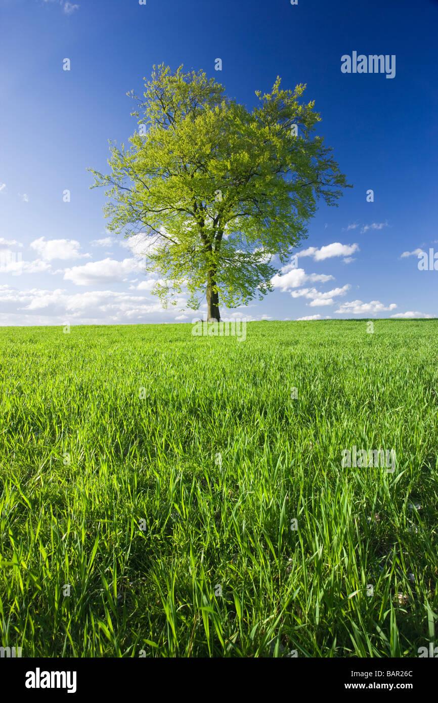Unico faggio nel campo di giovani raccolto. Surrey, Regno Unito. Immagini Stock