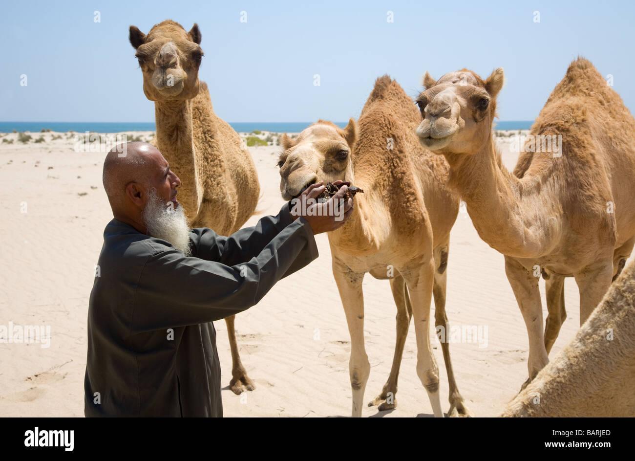 Il vecchio uomo Omani alimenta i suoi cammelli con date Omani füttert seine Kamele mit Datteln Immagini Stock