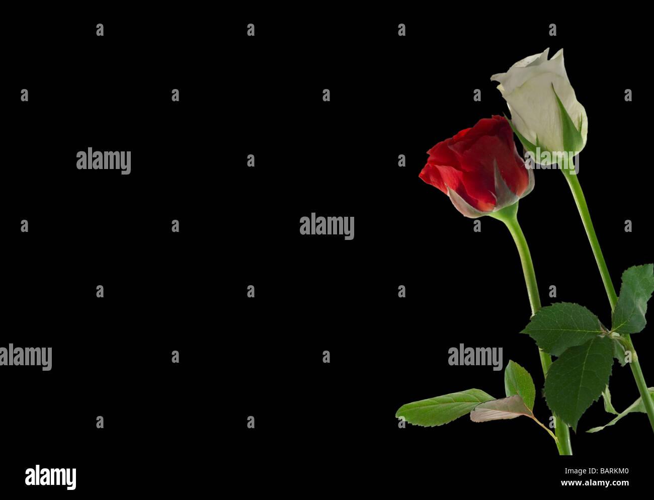 Un Rosso E Rosa Bianca Su Sfondo Nero Con Spazio Per Scrivere Su