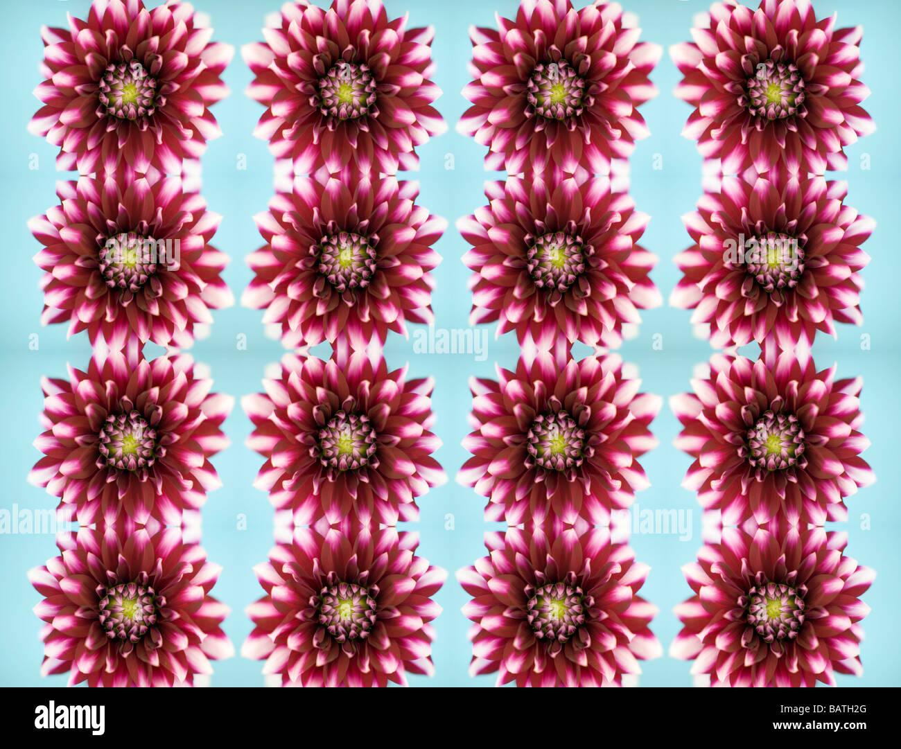 Dahlia fiori, immagine astratta. Immagini Stock