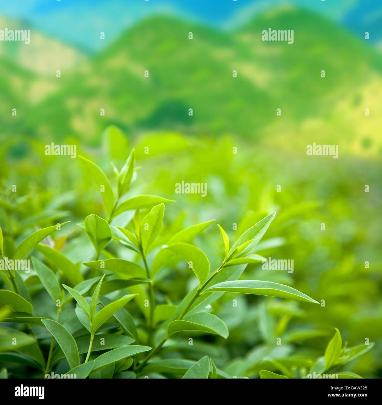 Boccola del tè verde Immagini Stock