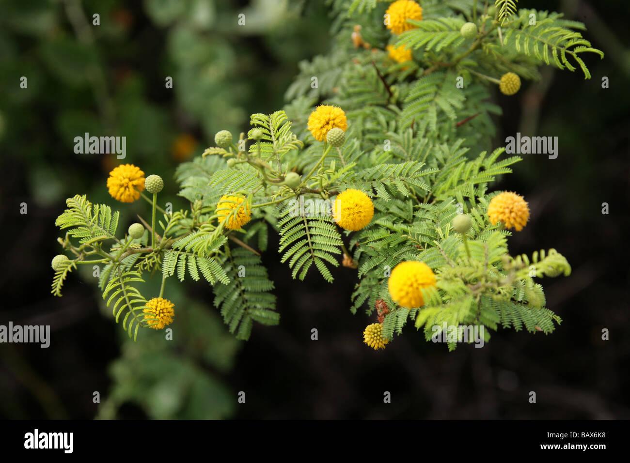 Le Galapagos Acacia, Acacia, rorudiana Fabaceae, Santa Cruz, Isole Galapagos, Ecuador, Sud America Immagini Stock