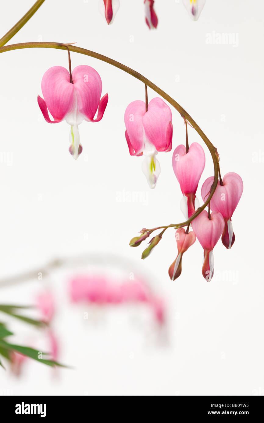 Studio still life floral Dicentra spectabilis a forma di cuore ad fiori su sfondo bianco Immagini Stock