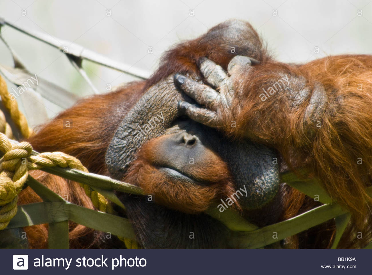 Orangutan di Sumatra tenendo la sua testa, pongo Pygmaeus, Zoo di Denver, Colorado, STATI UNITI D'AMERICA Immagini Stock