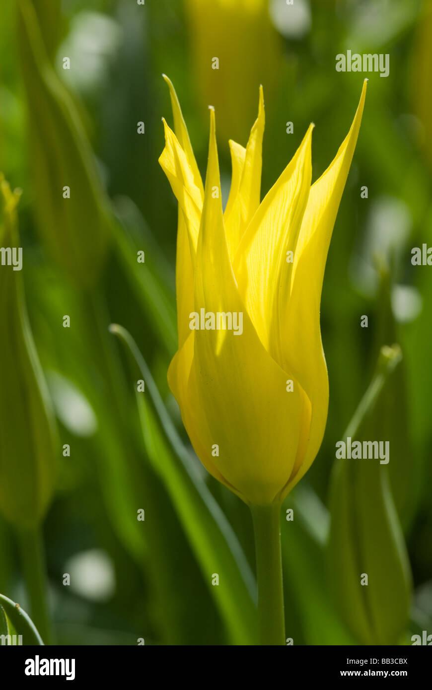 Tulip West Point Immagini & Tulip West Point Fotos Stock - Alamy