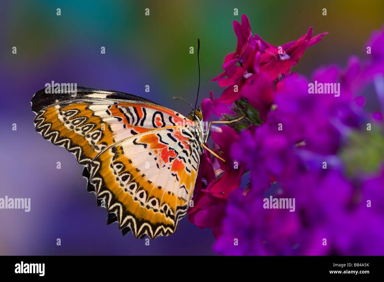 Sammamish Washington farfalle tropicali fotografia Lacewing comune butterfly, Cethosia biblis su verbena Immagini Stock