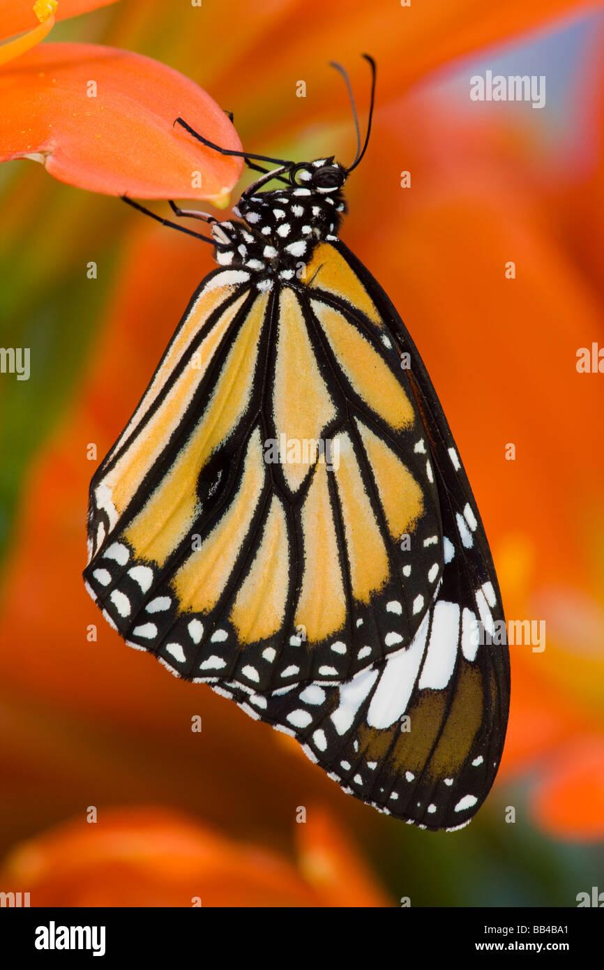 Sammamish Washington farfalle tropicali fotografia di Asian Danaus genutia il Comune Tiger Butterfly Immagini Stock
