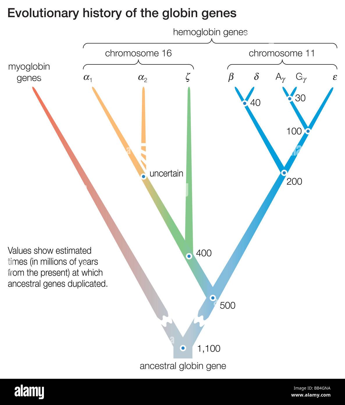 La storia evolutiva dei geni per la globina. I punti indicano la duplicazione dei geni ancestrali, dando origine Immagini Stock