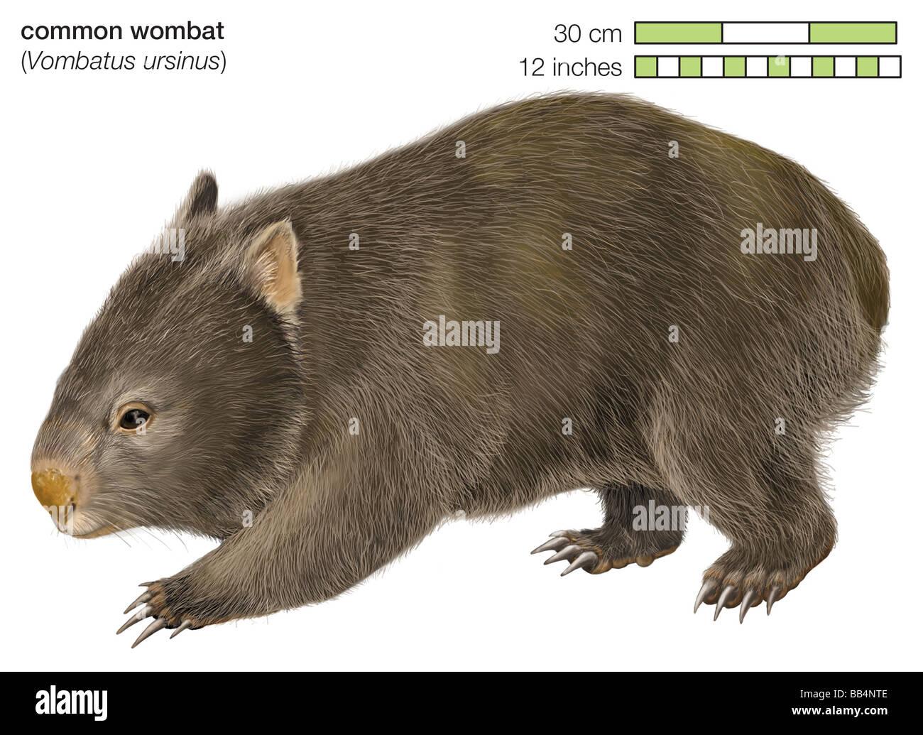 Wombat comune (Vombatus ursinus) Immagini Stock