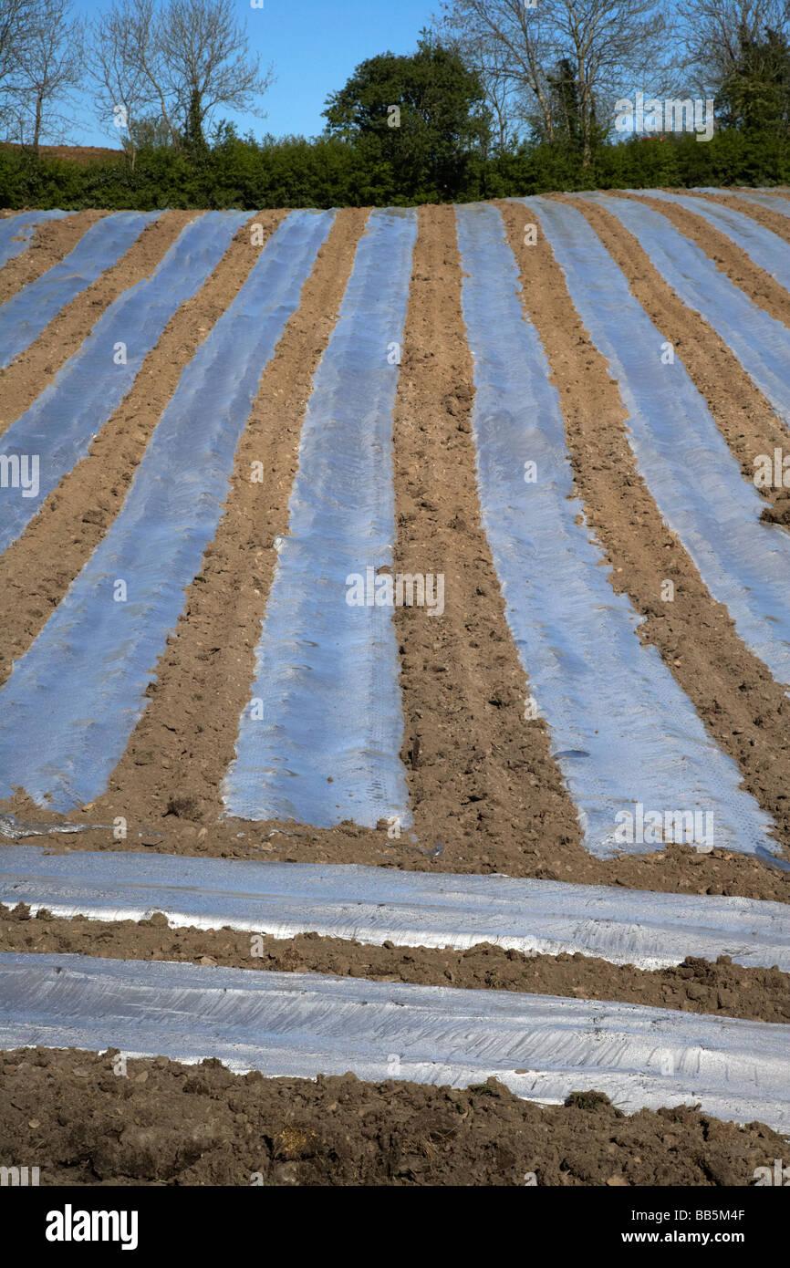 In plastica trasparente strisce di colture di copertura per accelerare la crescita in un campo di agricoltori nella Immagini Stock
